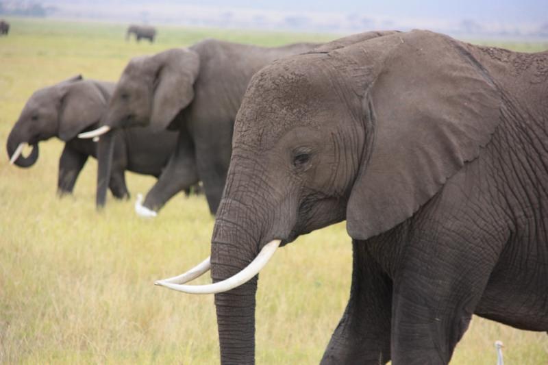 Diminui o número de artigos de marfim à venda e caem os preços do marfim na China