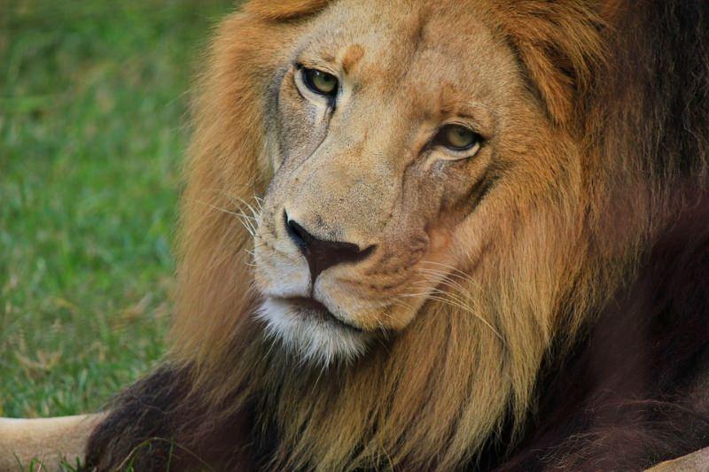 Leões africanos sob as mesmas ameaças que os extintos tigres-dentes-de-sabre enfrentaram