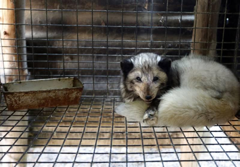 República Checa proíbe quintas de produção de peles, salvando 20 000 animais por ano