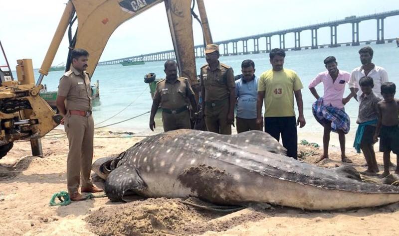 Tubarão-baleia dá à costa morto com colher de plástico presa no aparelho digestivo