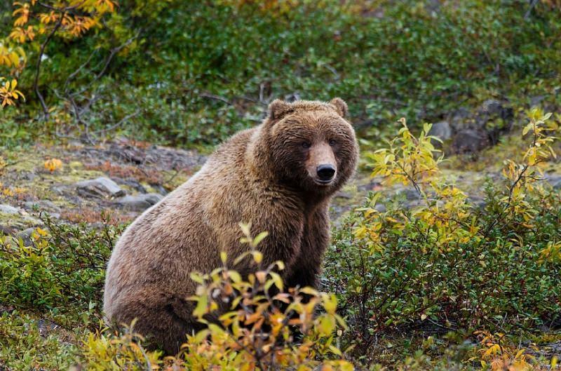 Província do Canadá proíbe a caça de troféus de ursos-pardos