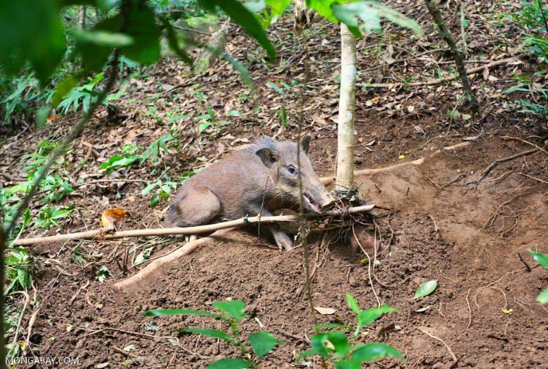 A caça, e não a desflorestação, é a maior ameaça à biodiversidade do Sudeste Asiático