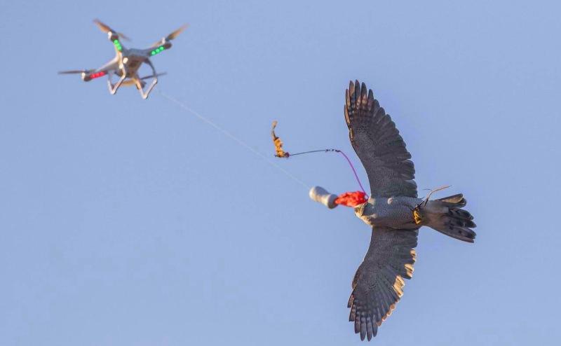 Drones estão a ser usados para ajudar falcões feridos a voltar a voar