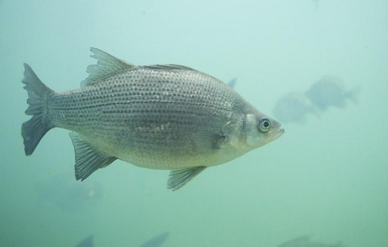 Cientistas descobrem antidepressivos nos cérebros dos peixes