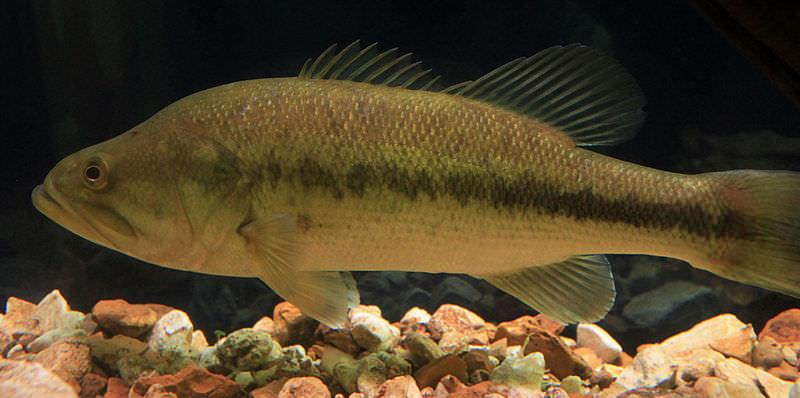 Peixe achigã