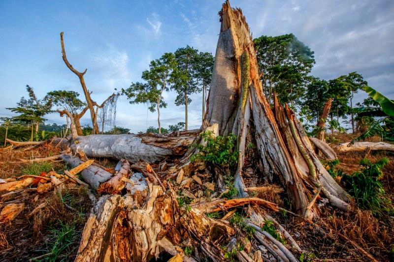 Indústria do chocolate está a levar à destruição das florestas e áreas protegidas da Costa do Marfim