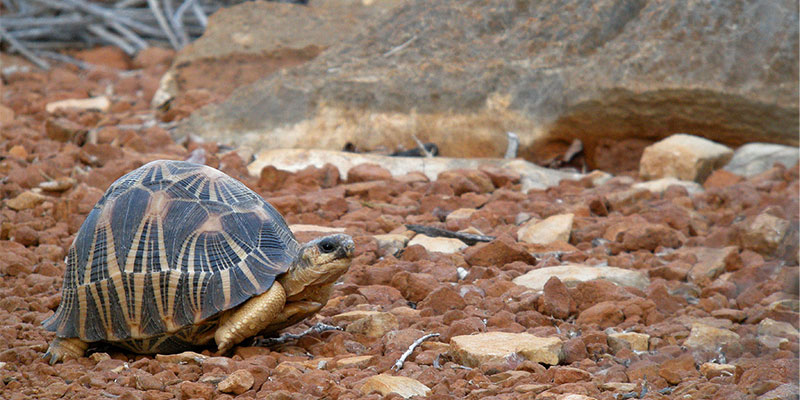 Tartaruga-estrelada-de-Madagáscar