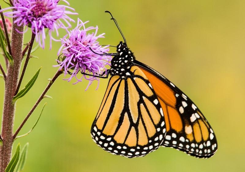 Borboletas-monarca estão a desaparecer do oeste da América do Norte
