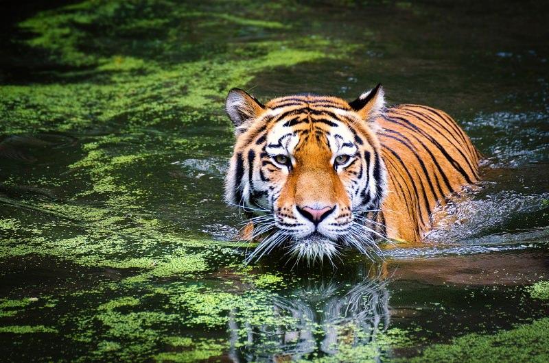 Tigres vão regressar ao Cazaquistão, 70 anos após a sua extinção no país