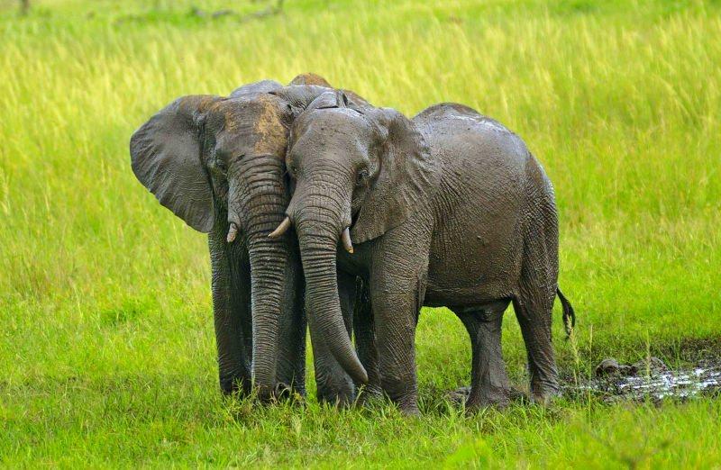 Reino Unido cede à pressão dos ativistas e anuncia plano para proibir comércio de marfim