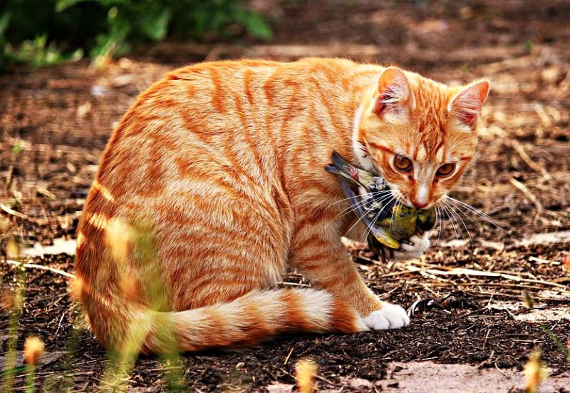 Gatos matam um milhão de aves por dia na Austrália