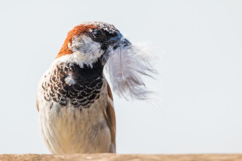 Declínio de pardais na Península Ibérica ligado à poluição do ar e malnutrição