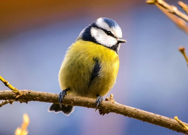 Quantas destas aves consegue reconhecer pelo canto ou chamamento?