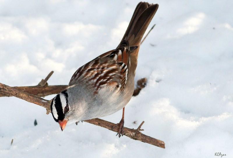 Estudo confirma que pesticidas neonicotinóides são tóxicos para os pássaros