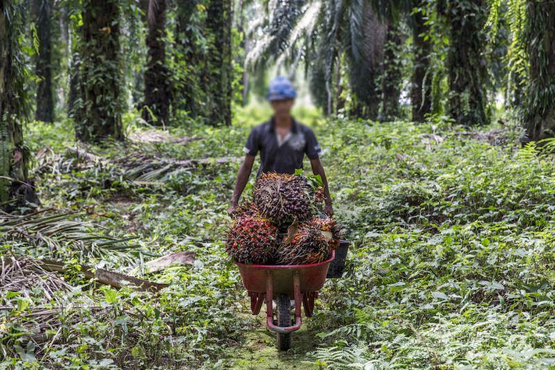 """Óleo de Palma """"sustentável""""? Abusos continuam nas plantações ligadas à PepsiCo e Nestlé"""