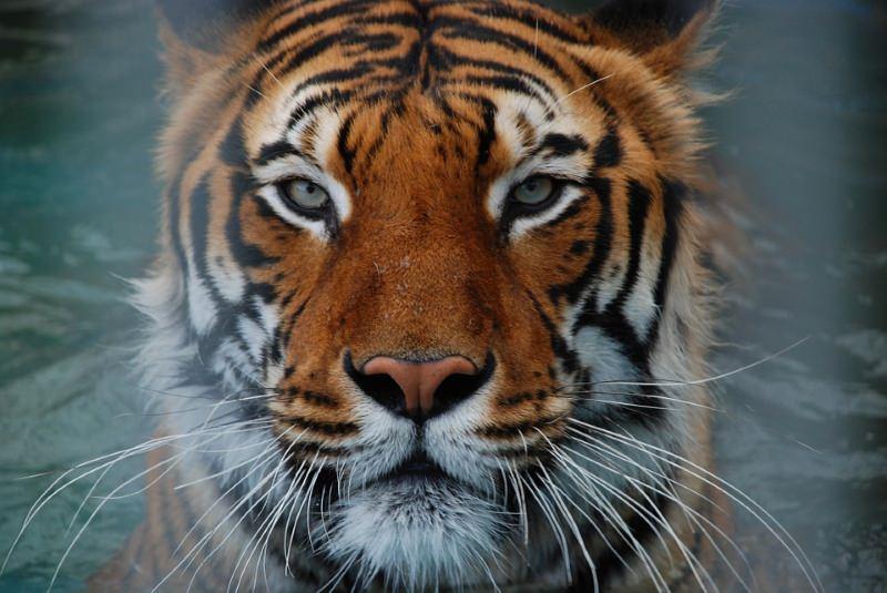 Nepal no rumo certo para atingir meta de duplicar população de tigres até 2022