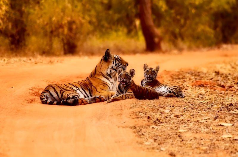 Tigre com crias
