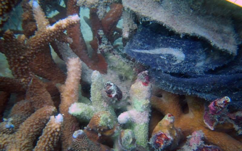 Há milhares de milhões de resíduos plásticos nos recifes a infetar os corais com doenças