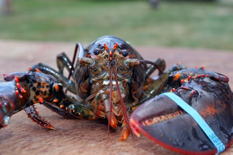 Suíça proíbe que lagostas e crustáceos sejam cozinhados vivos e conscientes em água a ferver