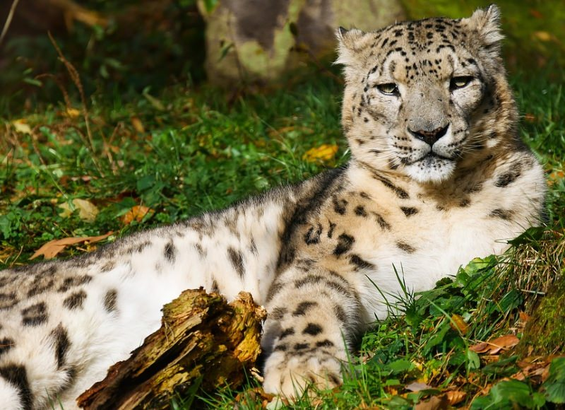 Leopardos-das-neves avistados pela primeira vez no leste do Tibete
