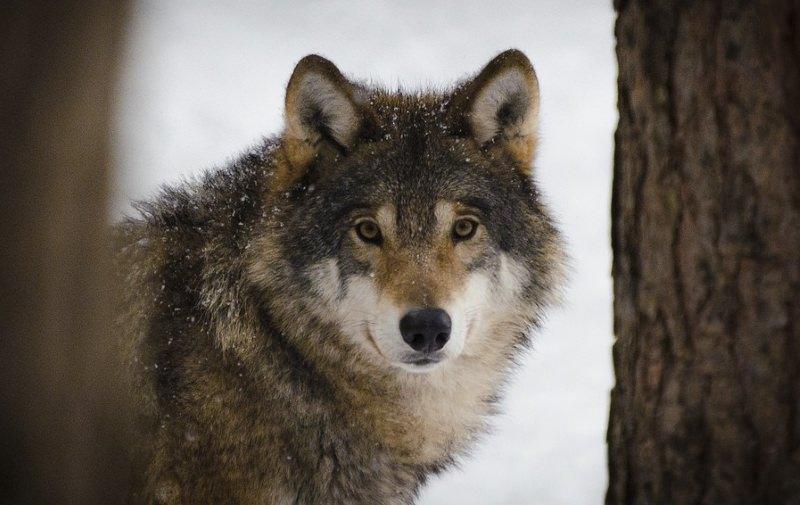 Após 100 anos, lobo selvagem avistado pela primeira vez no norte da Bélgica