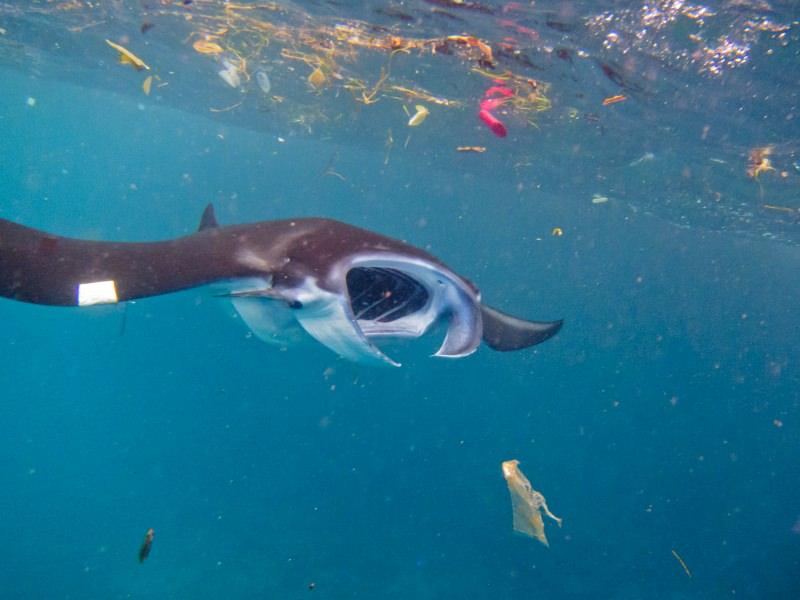 """Microplásticos que poluem o mar são """"grande ameaça"""" para baleias, tubarões e raias"""