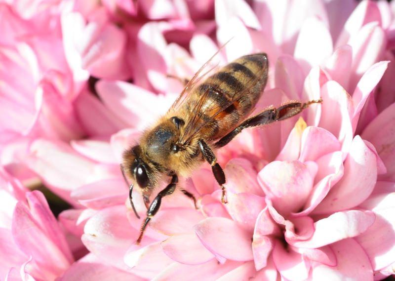Fungicida agrícola atrai abelhas e isto são más notícias, avisam cientistas