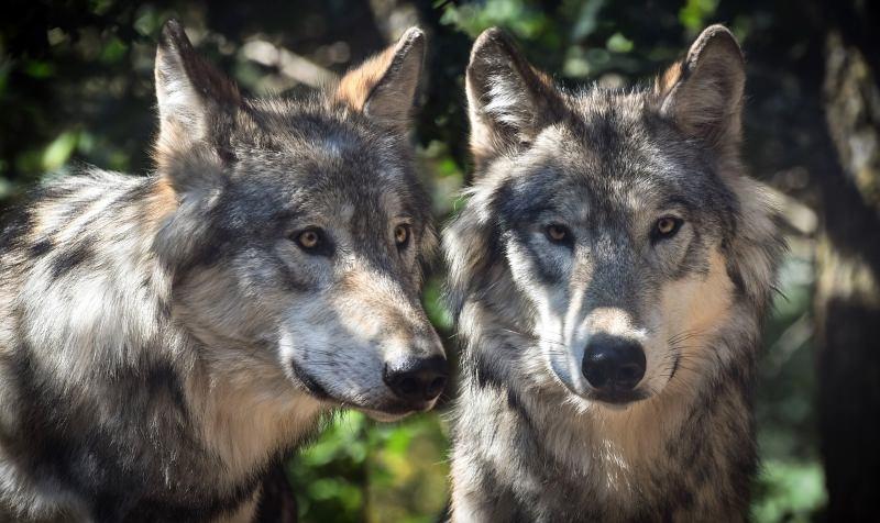 França vai deixar população de lobos crescer 40% para assegurar futuro da espécie no país