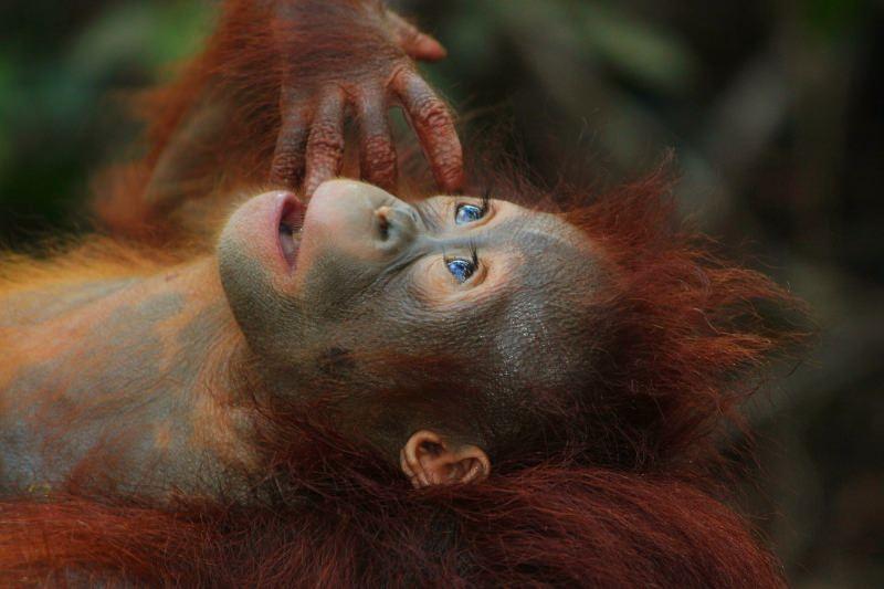 Bornéu perdeu 150 mil orangotangos em apenas 16 anos devido à caça e desflorestação