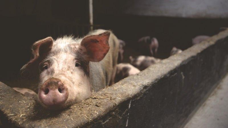 Suiniculturas: multa de 800 mil euros por descargas poluentes