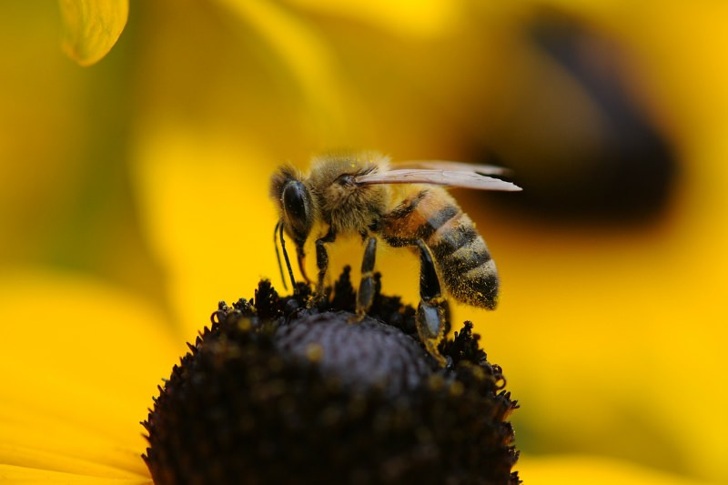 Europa deverá proibir pesticidas que ameaçam as abelhas, após relatório da EFSA