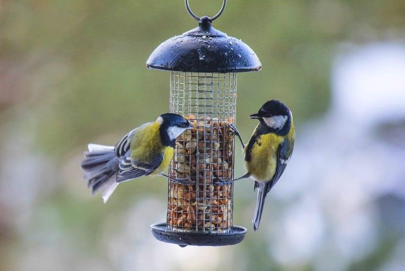 Comedouros para pássaros estão a propagar doenças entre aves silvestres