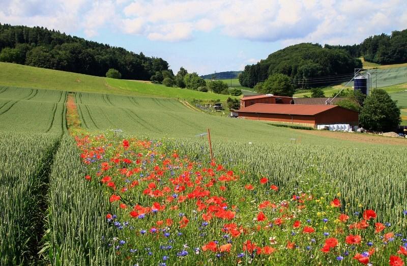 Plantar faixas de flores silvestres nos campos agrícolas pode reduzir uso de pesticidas
