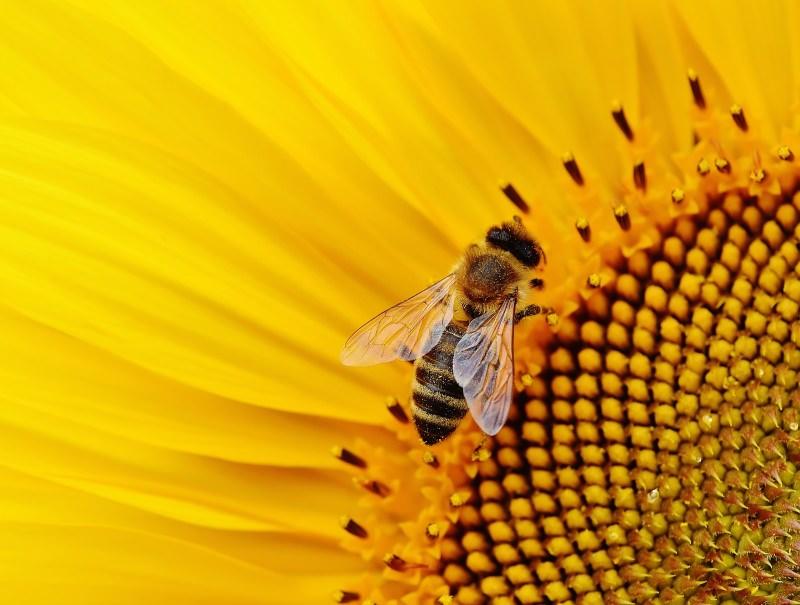 Vitória: UE proíbe uso ao ar livre de inseticidas perigosos para abelhas