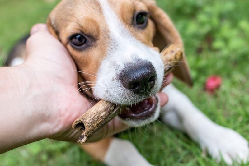 Japão acaba com teste de pesticidas em beagles