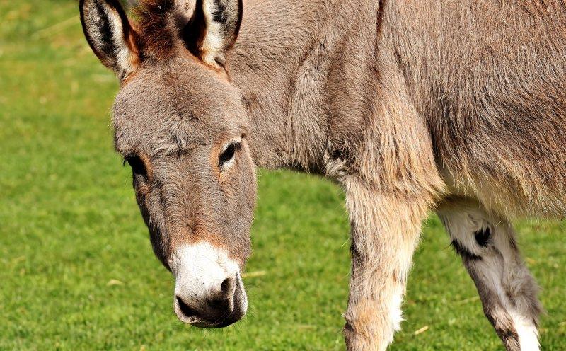 Procura por peles de burro na China leva ao declínio destes animais no mundo