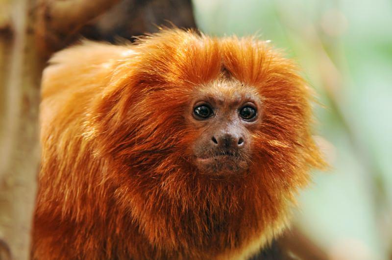 Novo corredor para a vida selvagem no Brasil vai proteger os micos-leões-dourados