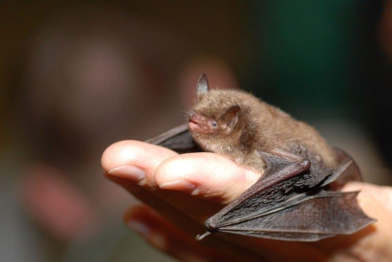 Morcegos ajudam viticultores a combater traças da uva em França