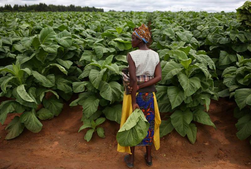 """Zimbabwe: Crianças """"sacrificam saúde e educação"""" para trabalhar em plantações de tabaco"""