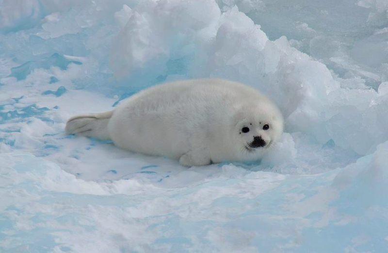 Índia proíbe a importação de peles de foca