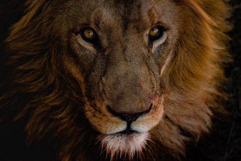 Leões criados para morrer: o comércio de ossos de leão entre a África do Sul e a China