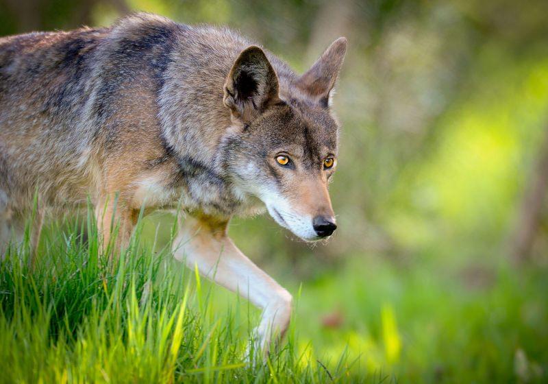 Uma das espécies de lobo mais ameaçadas do mundo pode ficar extinta em 8 anos