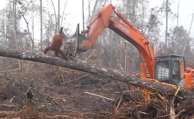 Vídeo do Facebook mostra orangotango a tentar defender floresta de buldózer