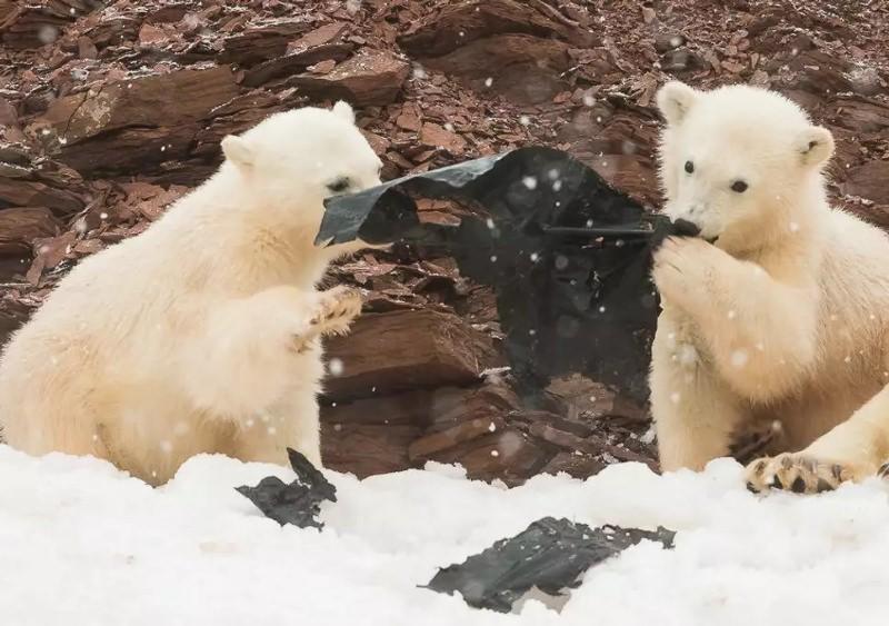 Crias de urso polar brincam com resíduos de plástico em ilha remota do Ártico