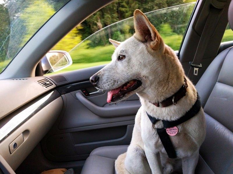Bastam seis minutos para um cão morrer dentro de um carro quente