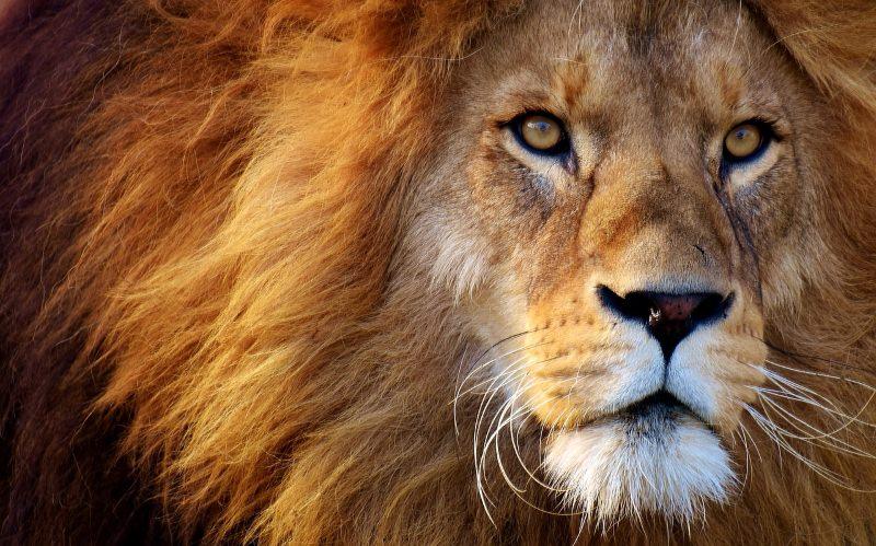 África do Sul autoriza a exportação anual de 1500 esqueletos de leão