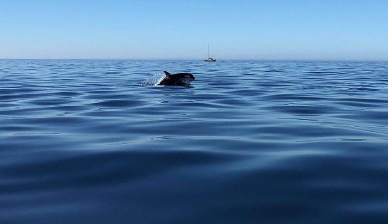Orcas avistadas na costa do Algarve