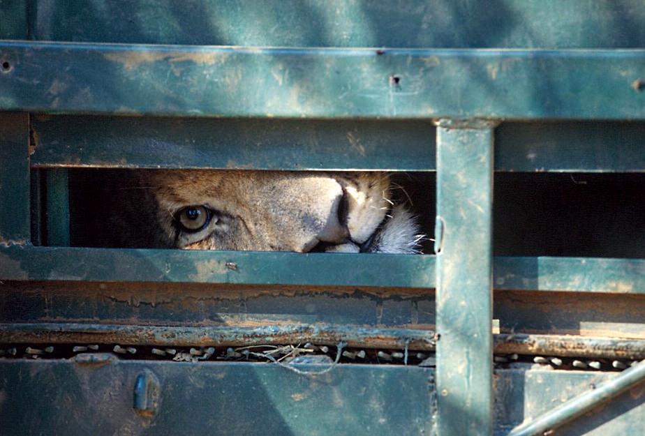 leão espreita por um buraco na porta do sítio onde se encontra confinado