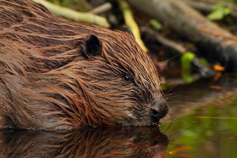 Castores reintroduzidos em floresta inglesa, 400 anos após serem levados à extinção