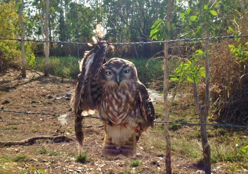 Foto de coruja demonstra os perigos do arame farpado para a fauna selvagem